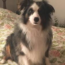 australian shepherd odor lemongrass and aloe hypoallergenic usda certified organic dog