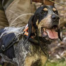 bluetick coonhound treeing chubbs the best bluetick coonhound we have ever had rip my love