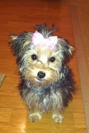 silky poo world u0027s cutest dog family pets pinterest dog