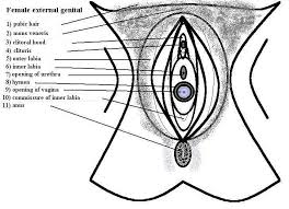 Female Sexual Anatomy Pictures Parts Of The Human Female Pictures Healthhype Com