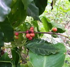 survival plant profile coffee survival gardener