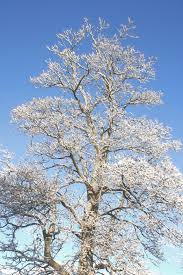 winter tree with snow covered branches picture free photograph