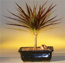 Indoor Tropical Plants For Sale - tropical bosai trees tropical plants for sale