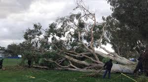 fallen tree delays farmers open at torrey pines golf