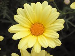 butterfly marguerite daisy argyranthemum frutescens proven