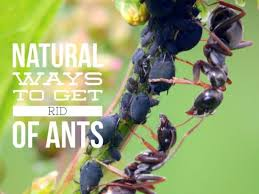controlling ants in the vegetable garden thriftyfun how to get rid