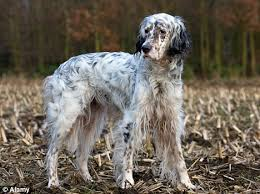 types of setter dog breeds english setter on the brink of extinction as dog lovers copy