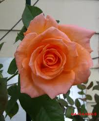 apricot rose flower in the yard today eastern sea star