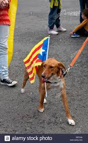 dog carrying the catalan independence flag barcelona spain stock