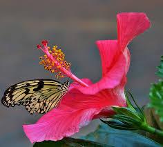 hibiscus flower pistil free photo on pixabay