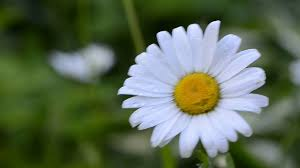 closeup of dewy daisy flower bloom with petals move in wind stock