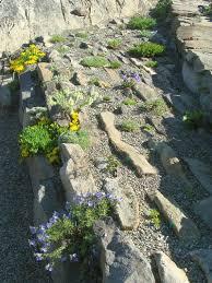 crevice garden north american rock garden society