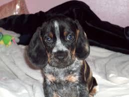 bluetick coonhound stuffed animal best 20 blue tick beagle ideas on pinterest beagle puppy