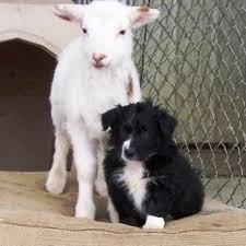 running with australian shepherd puppy turkey run australian shepherds breeders of top quality working
