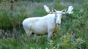 why this swedish moose is entirely white
