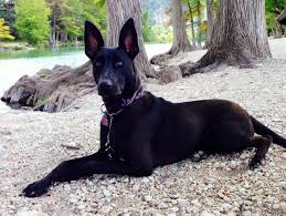 belgian shepherd rescue dogs i found molly on malinois shepherd and belgian shepherd