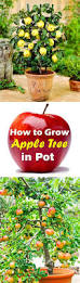 best 25 trees in pots ideas on pinterest potted trees zinc
