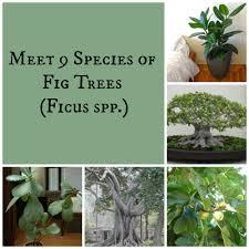 members of the eucalyptus angophora and corymbia genera