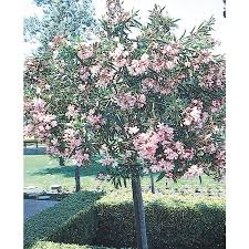 shop 2 gallon oleander tree form l24109 at lowes com flowers