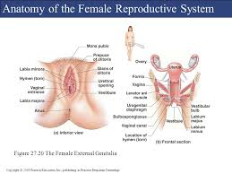 The Female Anatomy C H A P T E R 27 The Reproductive System Powerpoint Lecture