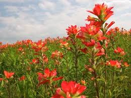 indian paintbrush flower 36 best indian paintbrush images on indian paintbrush