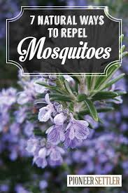plants that keep mosquitoes away 7 natural mosquito repellent plants home remedies order15