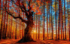 wallpaper wiki red trees beautiful forest wallpaper pic wpc003966