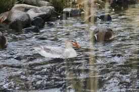duck creek farm