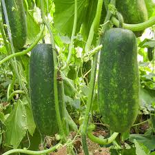 green healthy vegetable seeds authentic winter melon seeds very