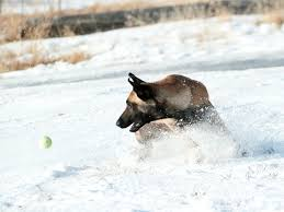 belgian sheepdog 101 get to know the belgian malinois one tough customer