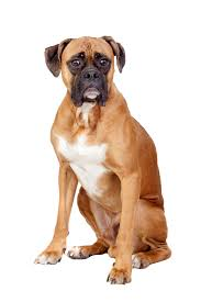 boxer dog tail docking boxer dog breed information continental kennel club