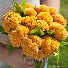 cockscomb flower 2018 yellow cockscomb flower seeds celosia easy to