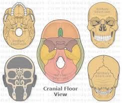 Floor Of The Cranium Best 25 Bones Ideas On Pinterest Anatomy Bones Skin