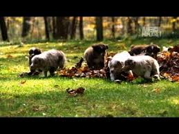 commercials with australian shepherds mini australian shepherds too cute youtube
