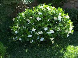 Gardenia Delivery The Gardenia Care And Varieties The Planting Tree
