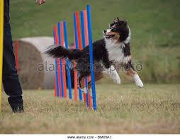 australian shepherd agility australian shepherd dog jumping stock photos u0026 australian