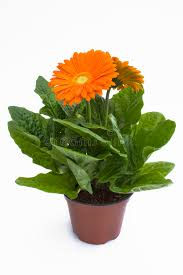 gerbera plant orange gerbera plant royalty free stock photos image 14119788