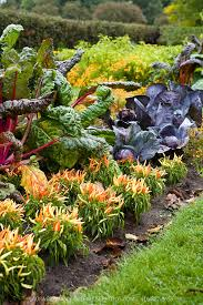edible ornamental planting of chard chilis and purple cabbage