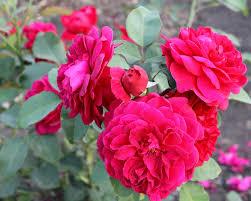habrumalas pink rose garden wallpaper images