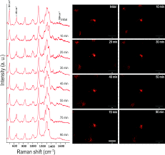 elucidation of ultraviolet radiation induced cell responses and