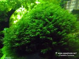 Aquascape Moss Phoenix Moss Fissidens Fontanus How To Grow Aquatic Moss