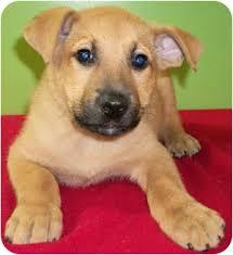 belgian sheepdog breeders ohio kramer adopted puppy struthers oh belgian malinois labrador