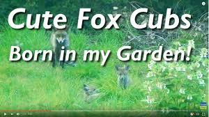fox cubs born in my garden youtube