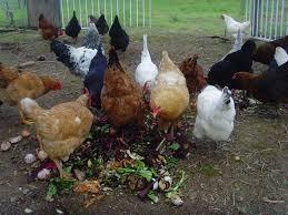 Best Backyard Chicken Breeds by Chicken Breeds Chicken Coop Design Ideas