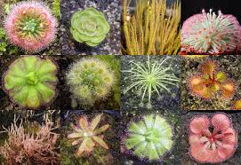 australian native climbing plants inside the mysterious world of carnivorous plants sticky traps