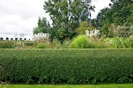 native hedging plants privet hedges growing tips for ligustrum shrubs