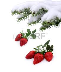 s day strawberries fresh strawberries grow up in the snow s day stock