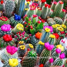 aliexpress buy 200 pcs cactus flower seeds seeds