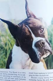 boxer dog with tail why do some owners amputate the ears and tails of certain breeds
