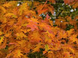 free images nature branch fall foliage color season maple